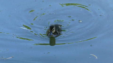 A nice duckling swims to its mother duck in green lake waters Footage