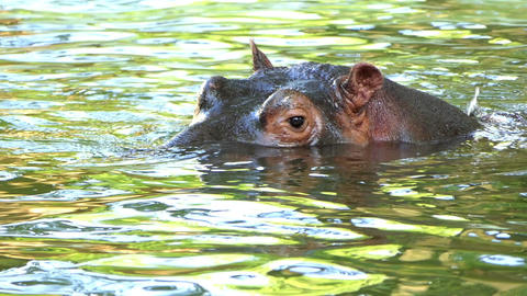 a Happy Hippopotamus Relaxes in a Pond on a Sunny Day in Summer in Slow Motion Footage
