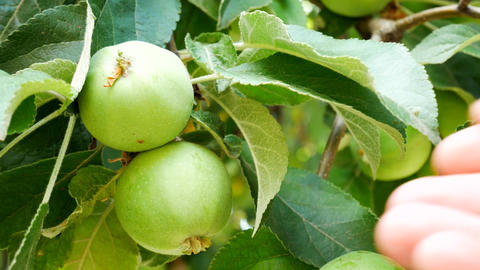 Man Checks for Ripeness Mellowness Green Apples on a Tree Footage