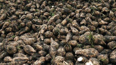 Harvest sugar beet in a country field Image
