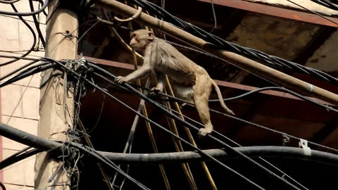 The Monkey Climb The Wires In Indian City Footage
