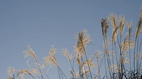 Miscanthus sinensis or Japanese Silver Grass or susuki at dusk Footage