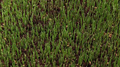 Wheatgrass Growing Time Lapse 画像