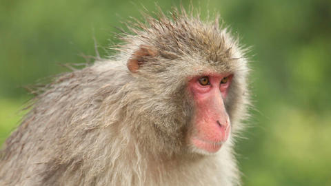 Japanese Monkey In The Rain Filmmaterial