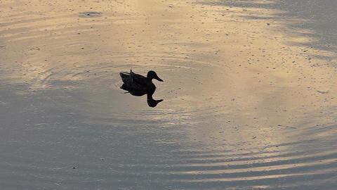 A brown duck swims calmly in a lake at sunset in slo-mo Footage