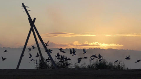 A flock of doves fly up on a lake bank at sunset in slo-mo Footage