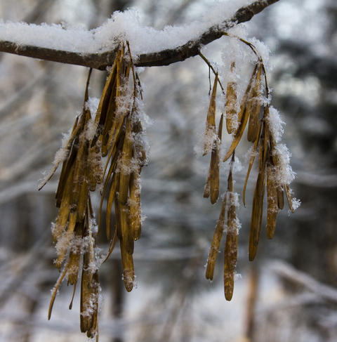 Maple seeds covered with fresh snow in the winter forest フォト