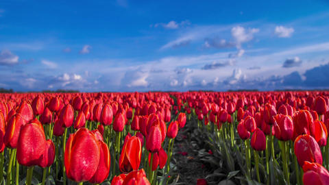 Time lapse and slider shot of Red Tullips and clouds, Netherlands Footage