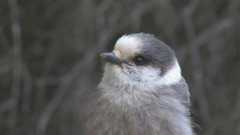 Close up on grey jay Live Action
