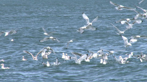Close up of kittiwakes in slow motion Footage