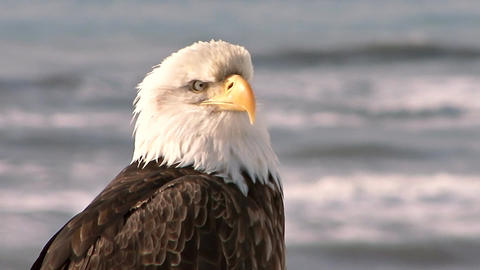 Close up of bald eagle with sea in the background Live Action