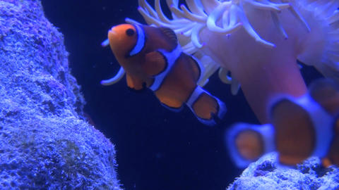 Clown fish swimming by rocks and coral Live Action