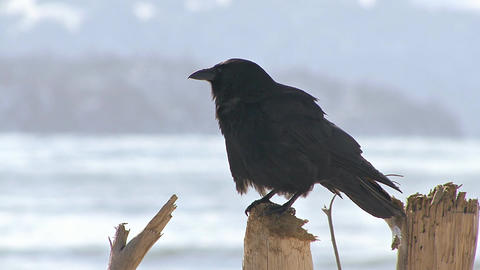 Crow on stick caws and flies away Footage