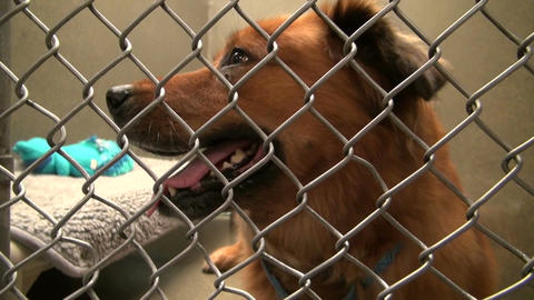 Dog barking in cage at animal shelter Live Action