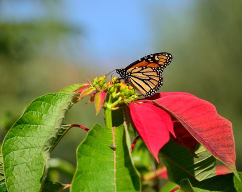 Danaus plexippus and poinsettia Fotografía