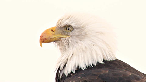 Extreme close up of bald eagle with scarred beak Footage