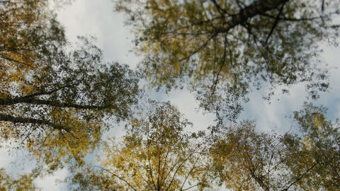 Tops of the trees covered with yellow leaves in autumn park 画像