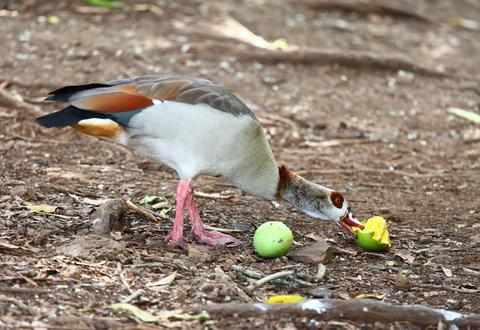 Egyptian goose eating ripe mango Fotografía