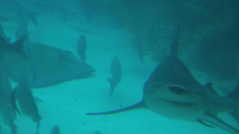 Fish avoiding sharks in murky blue water Footage