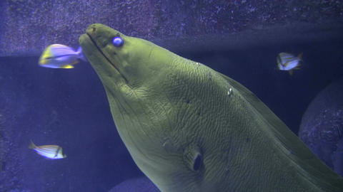 Large scaly fish breathing underwater Footage