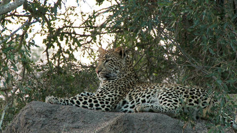 Leopard laying on rock Footage