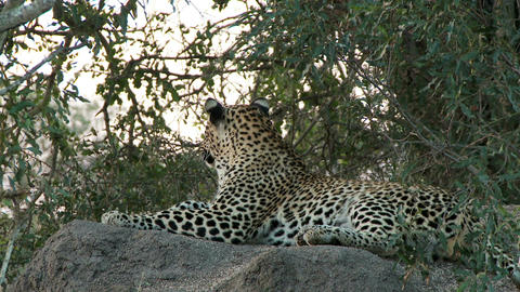 Leopard laying on rock Stock Video Footage