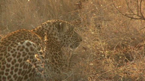 Leopard laying in dry grass Live Action