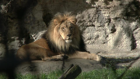 Lion relaxing on rock surface Live Action