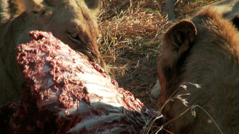 Lions feasting Footage