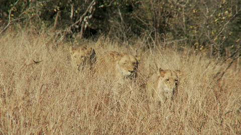 Lions in dry grass Live Action
