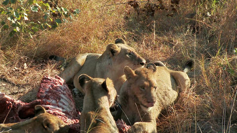 Lions run away from food Live Action
