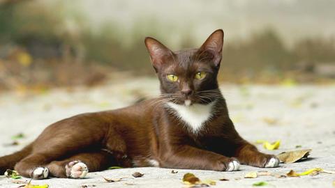 Siamese ginger cat Archivo
