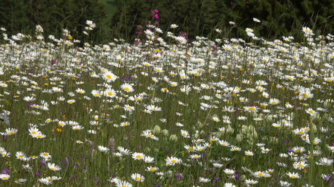 summer meadow with daisies, panorama Footage