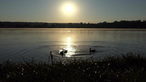 Several ducks swimming on a lake at sunset in 4k Footage