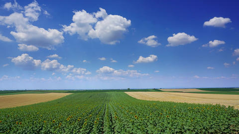 Rural landscape with sunflowers and wheat fields Footage