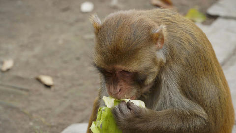 The monkey eats a banana Footage