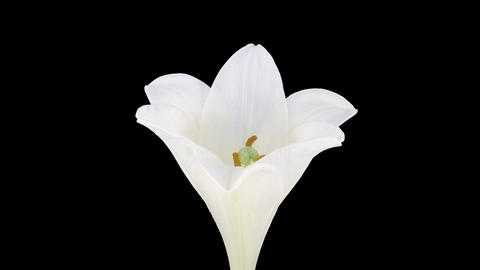 Growing, opening and rotating white Easter lily with ALPHA channel Footage