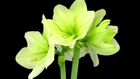 Rotating and growing greenish amaryllis Fantasy flower in RGB + ALPHA matte Footage