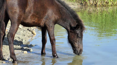 Black horse drinks lake water in summer in slo-mo Footage