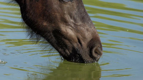 Black horse muzzle drinks lake water on a sunny day in summer Live Action