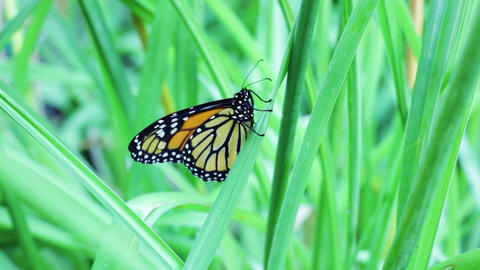 Monarch butterfly flapping wings Footage