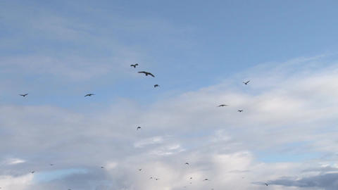 Murder of crows flying in cloudy sky Live Action