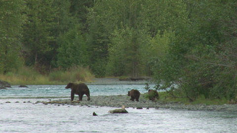 Mother brown bear and cubs on riverbank Live Action