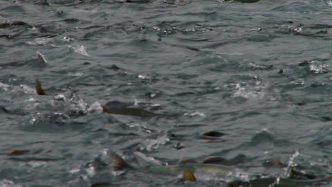 Pink salmon swimming upstream into spawning frenzy Live Action