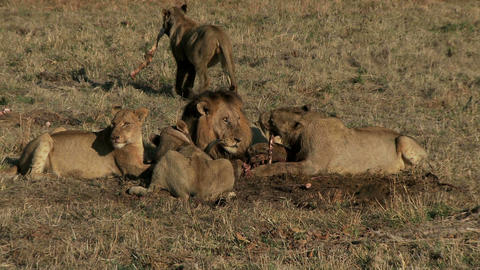 Pride of lions eating Live Action