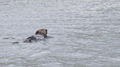 Sea otter rolling around in water Footage