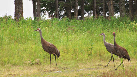 Sandhill crane family walking down country road Live Action