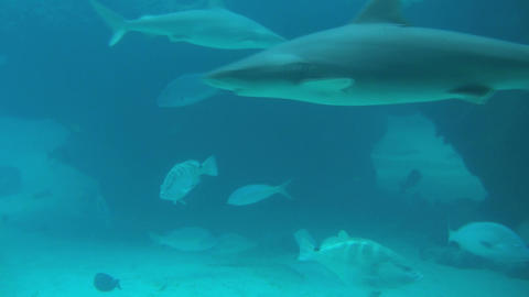 Shark and large bass closeup in murky blue water Footage