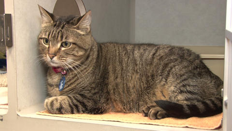 Striped cat sitting at animal shelter Footage