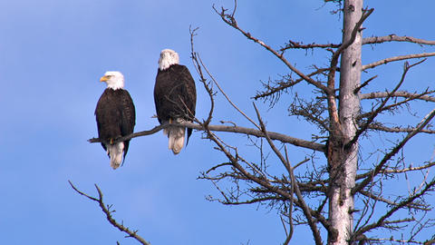 Two bald eagles perched on dead tree branch Live Action